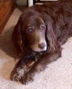My elderly dog Arthur. The move has been very hard on him.
