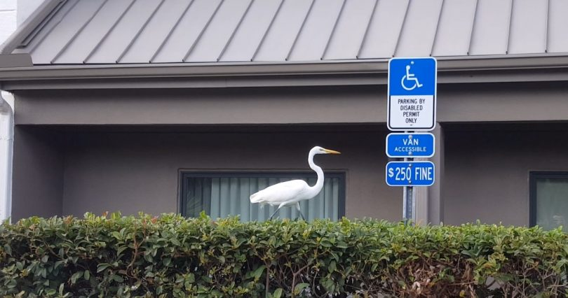 Wheelchair accessible Sarasota, Florida places to visit. Image shows an egret next to disability parking sign.